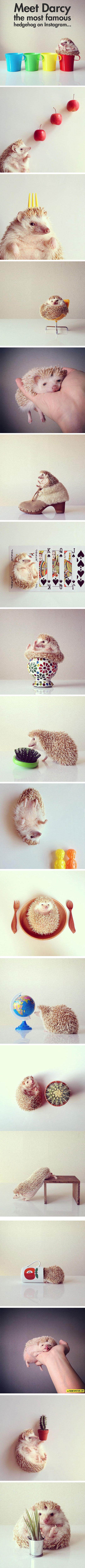 Darcy, The Most Fabulous Hedgehog On The Internet