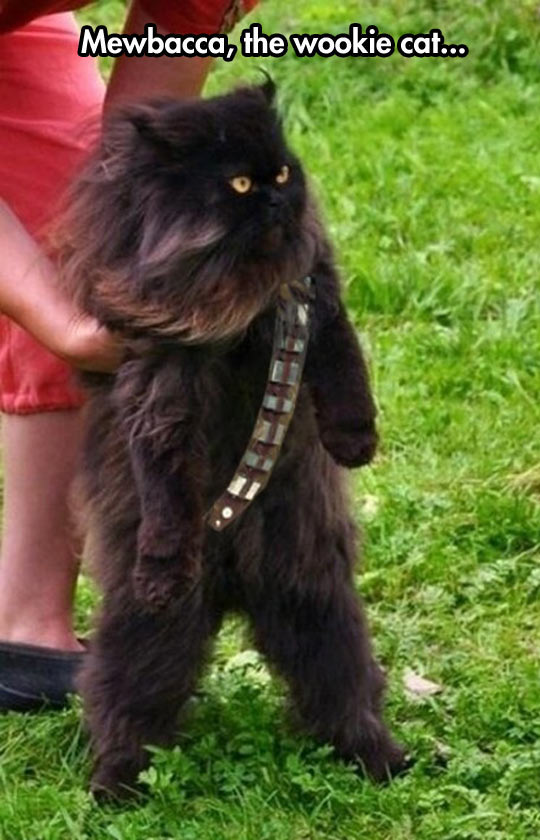 cool-kitten-Wookie-customized