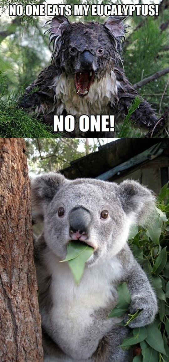 cool-koala-eucalyptus-leaves-scary