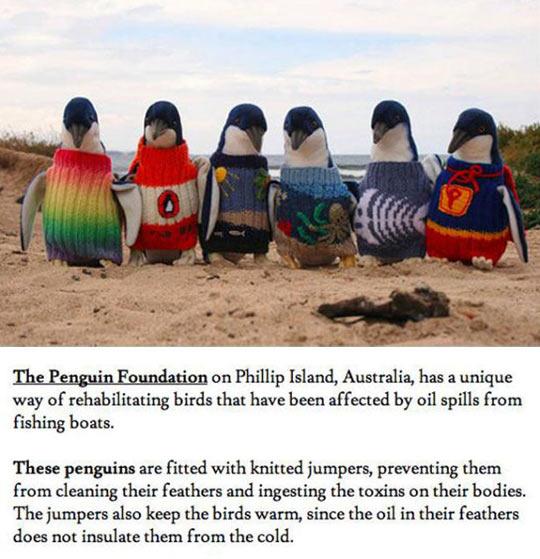 cool-penguins-rehabilitating-knitting-sweaters-Phillip-Island