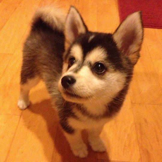 cool-puppy-Corgi-Husky-Corgsky