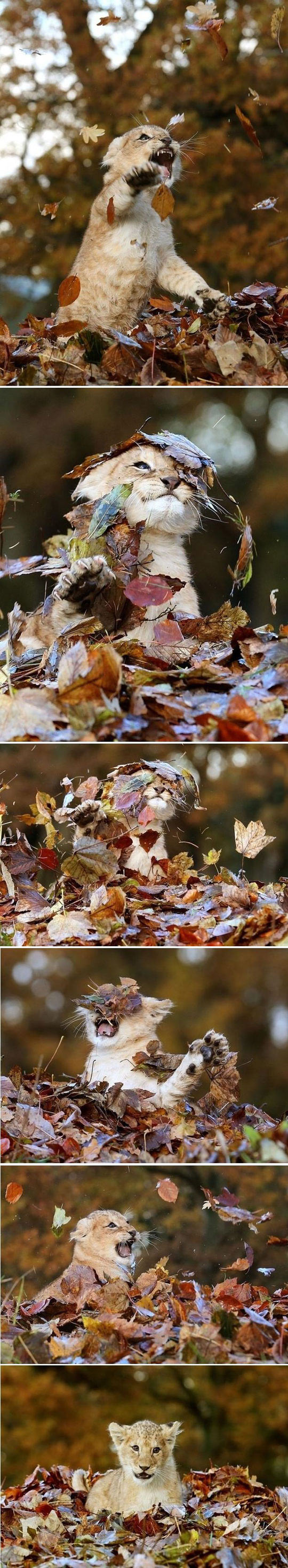 cool-young-lion-baby-playing-leaves