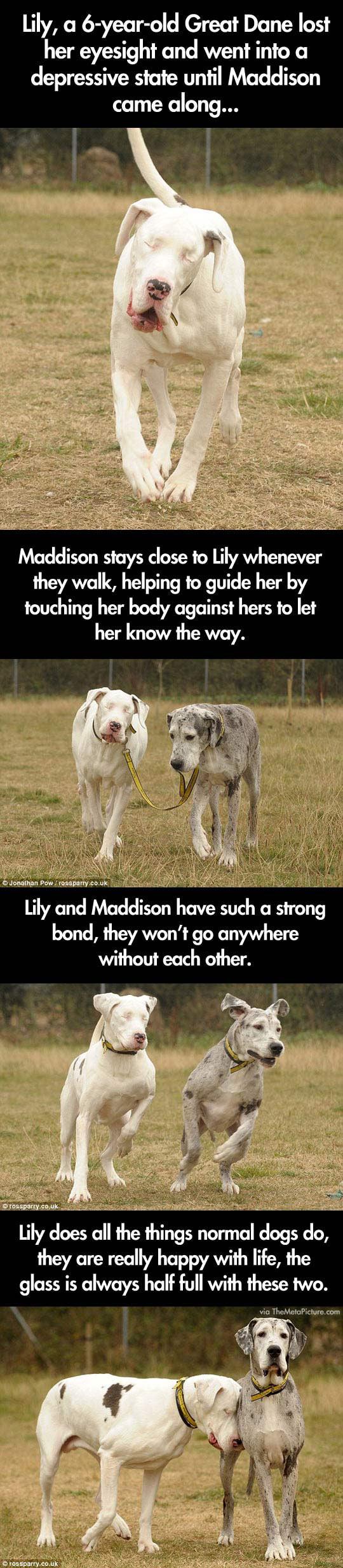 cute-blind-dog-guide-Great-Dane