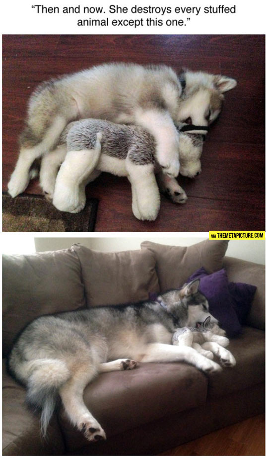 funny-husky-before-after