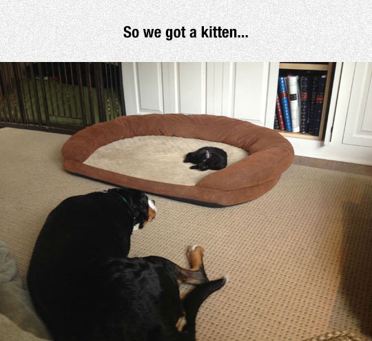 funny-kitten-dog-bed-pets