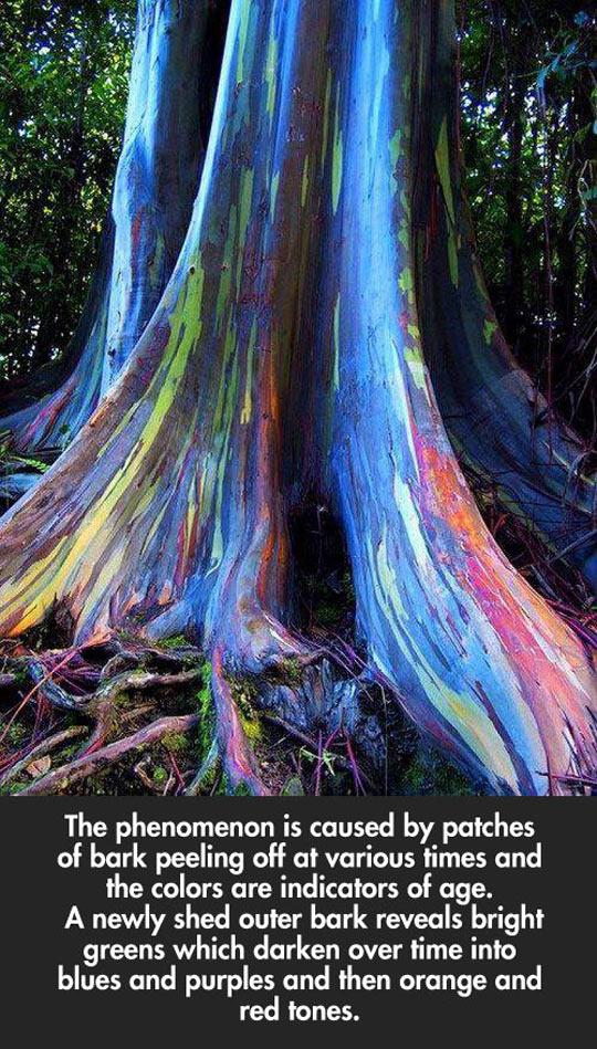 Rainbow Eucalyptus Trees In Hawaii
