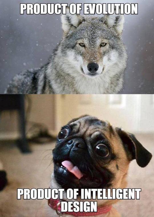 funny-wolf-pug-evolution