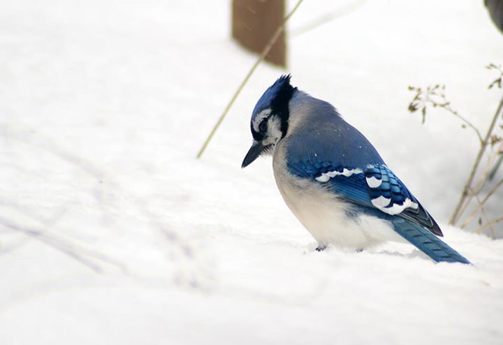 Blue jay in the snow.