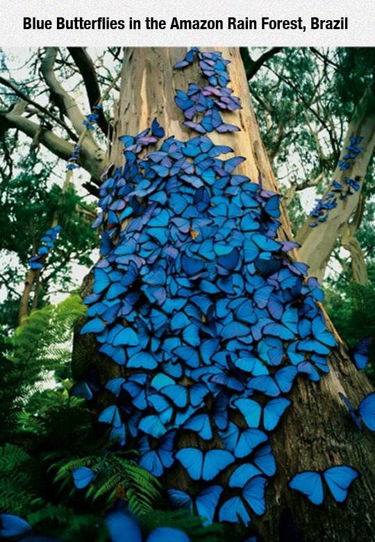 Blue Butterflies In The Amazon