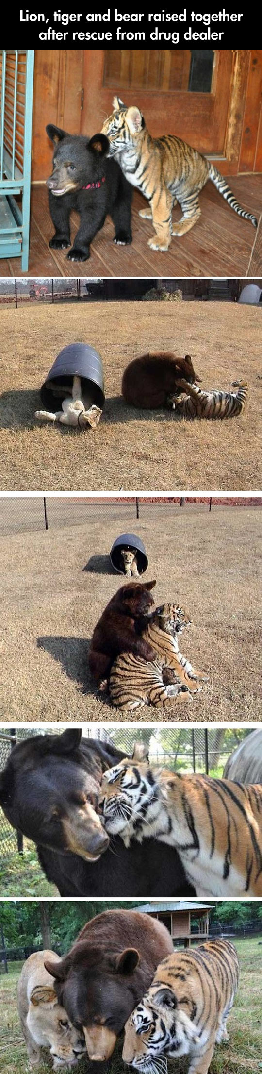 cool-bear-tiger-friends-growing-together