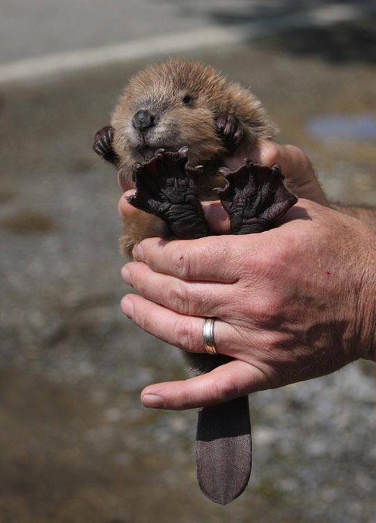 Tiny Baby Beaver