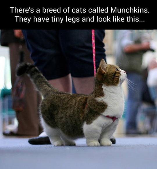 cool-cat-Munchkin-breed-short-legs