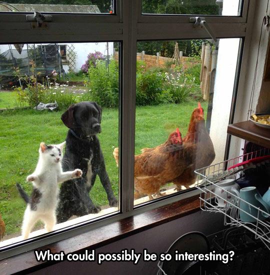 cool-cat-dog-chicken-windows
