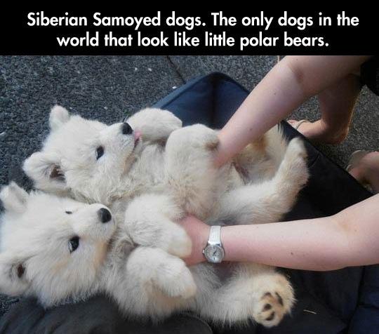 Tiny Polar Bears