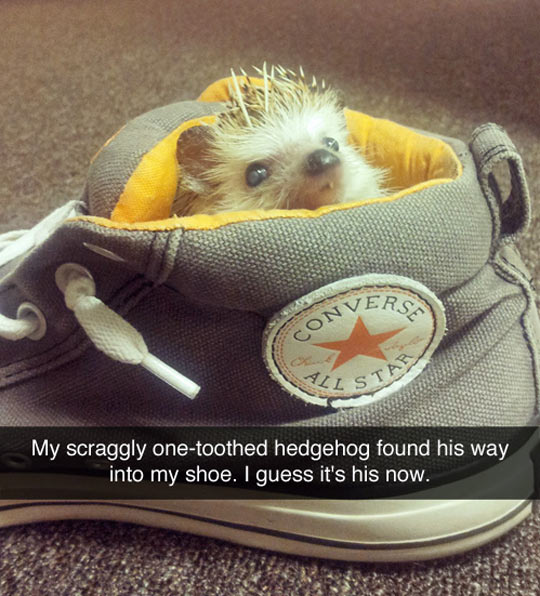 cool-hedgehog-inside-shoe-bed