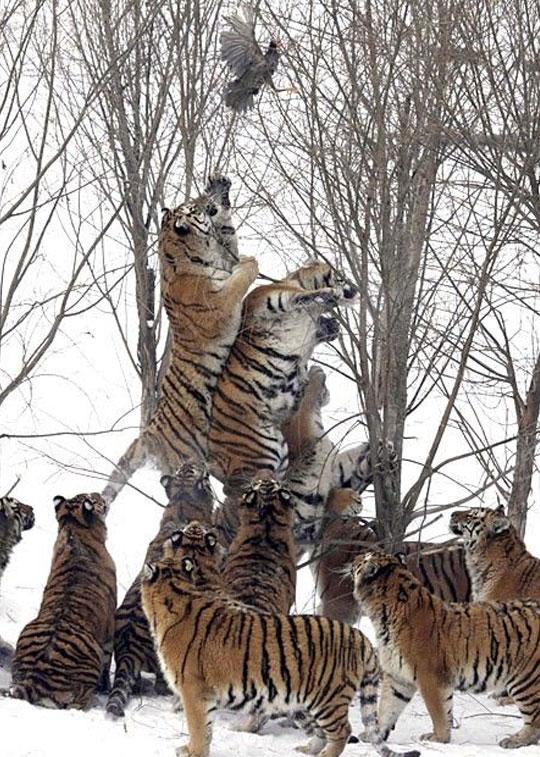 Eleven Tigers Vs. One Scared Bird