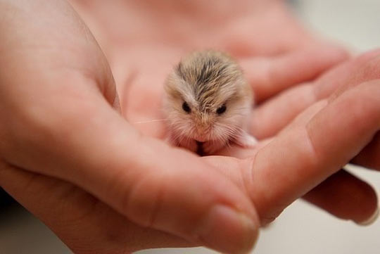 cool-tiny-baby-hamster-hand