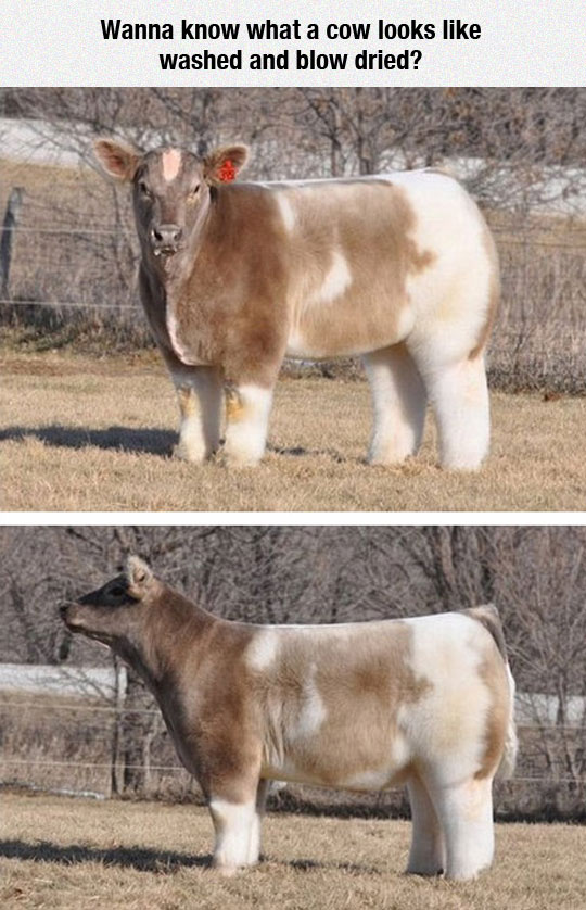 cool-washed-blow-dry-cow-fluffy