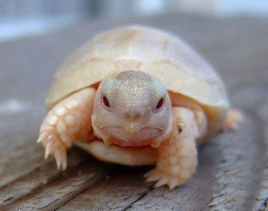 funny-baby-albino-turtle