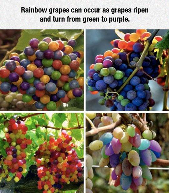 Rare Rainbow Grapes