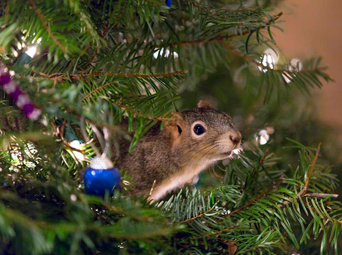 squirrel_christmas_tree_01