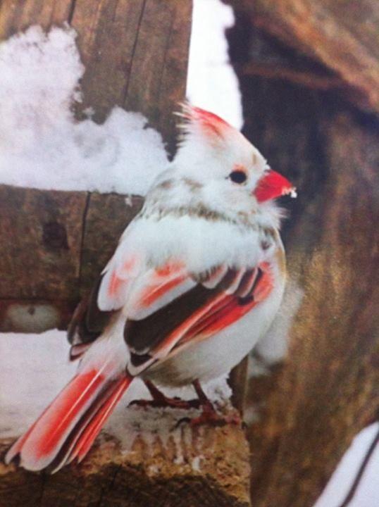 Albino Cardinal!