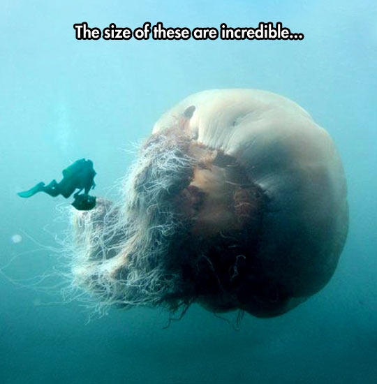 Diver Finds Monster Jellyfish
