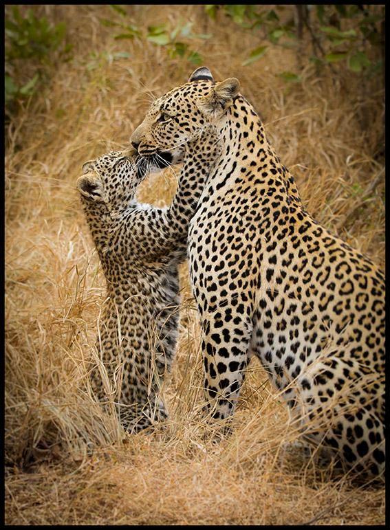 Leopard kisses