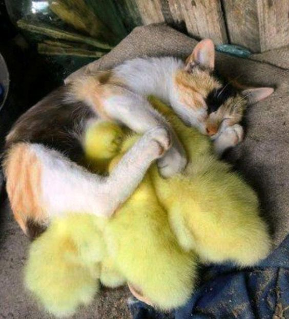 Mother cat takes in ducklings