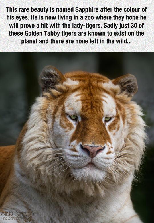 Unique Golden Tabby Tiger