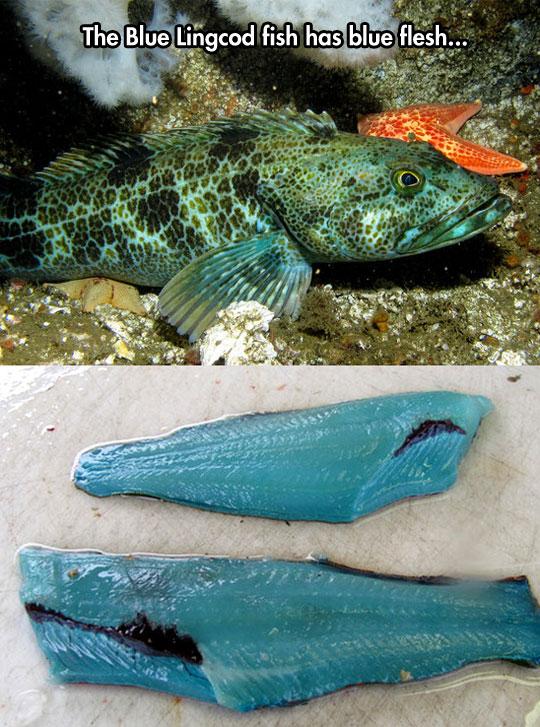 blue-flesh-fish