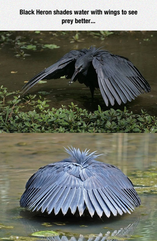 cool-Black-Heron-wings-shades