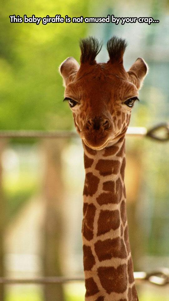 Unamused Giraffe
