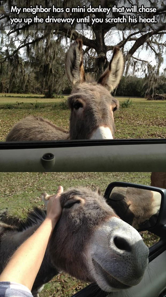 cool-donkey-scratching-head-car-chasing