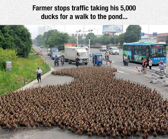 cool-ducks-traffic-man
