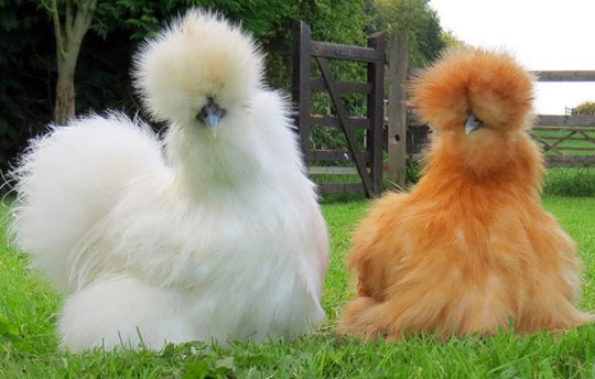 Fluffiest Chickens You Will Ever See