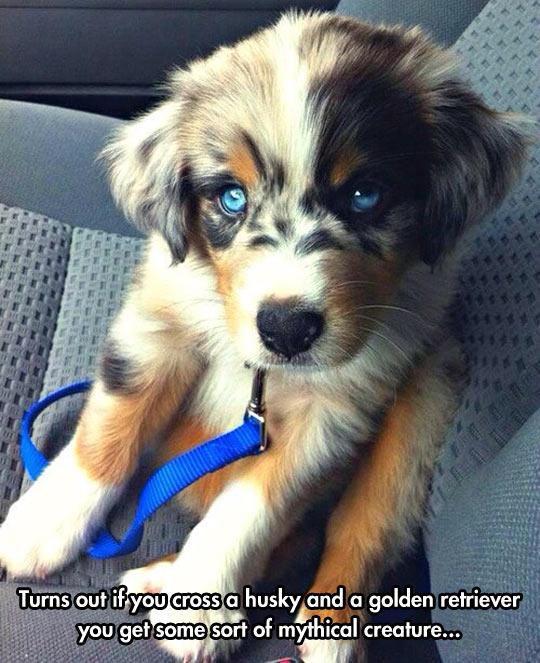 If You Cross A Husky And A Golden Retriever