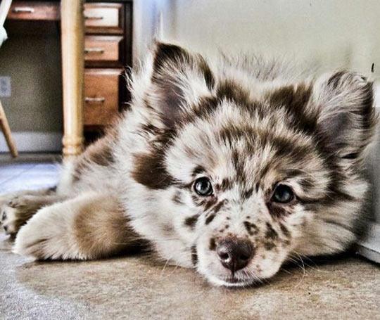 This Is An Australian Shepherd Husky Puppy