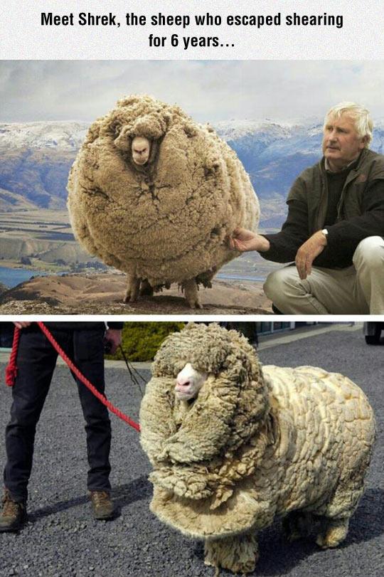 cool-sheep-fur-hairy-Shrek