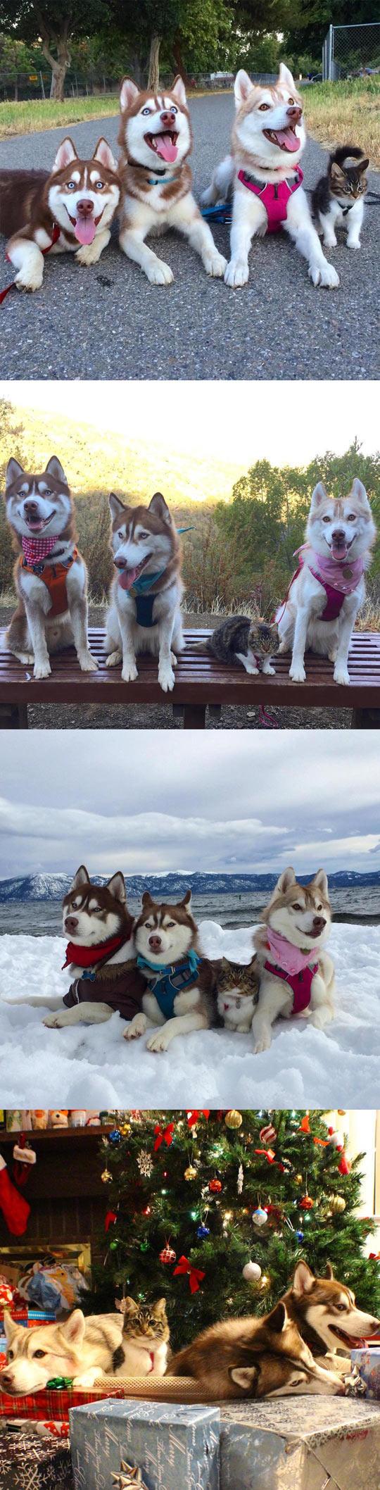 funny-cat-huskies-friends