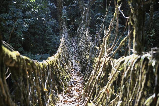The Living Root Bridge near Cherrapunji, Meghalaya, India. (Photo by: IndiaPictures/UIG via Getty Images)