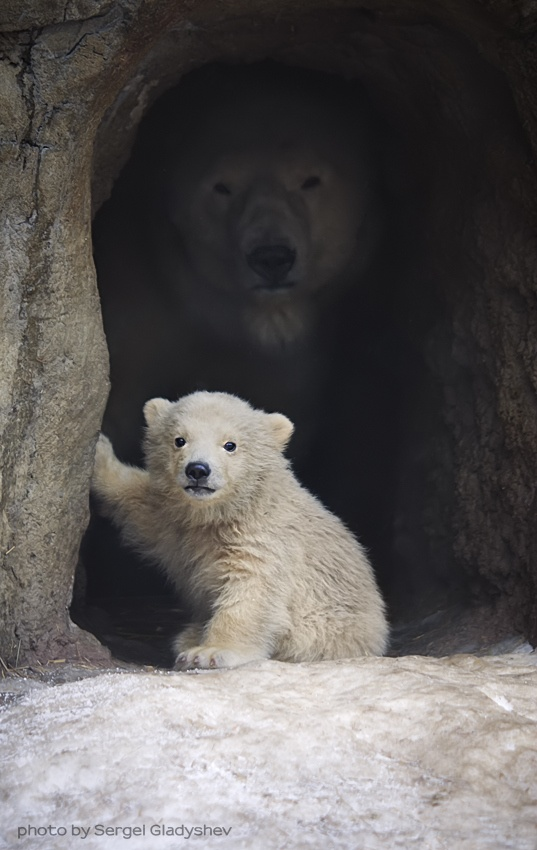 A Polar Bear and her Cub