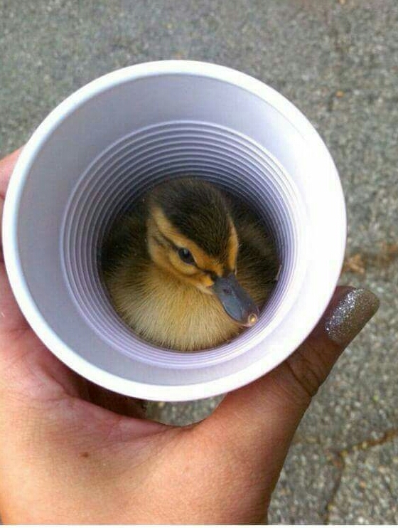 A duck in a cup
