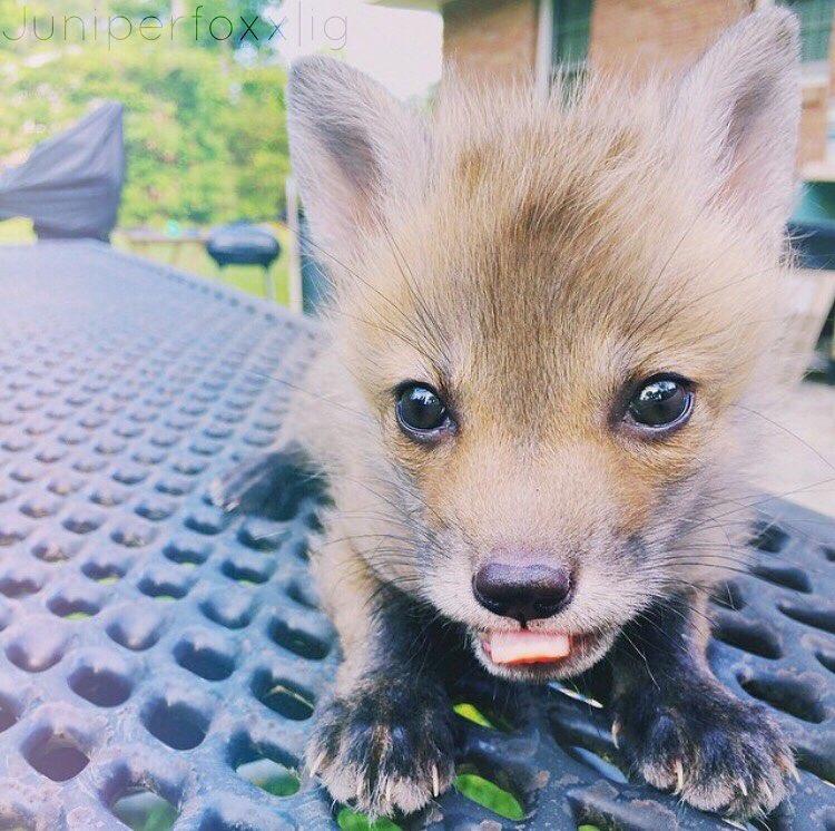 Adorable baby fox, Juniper.