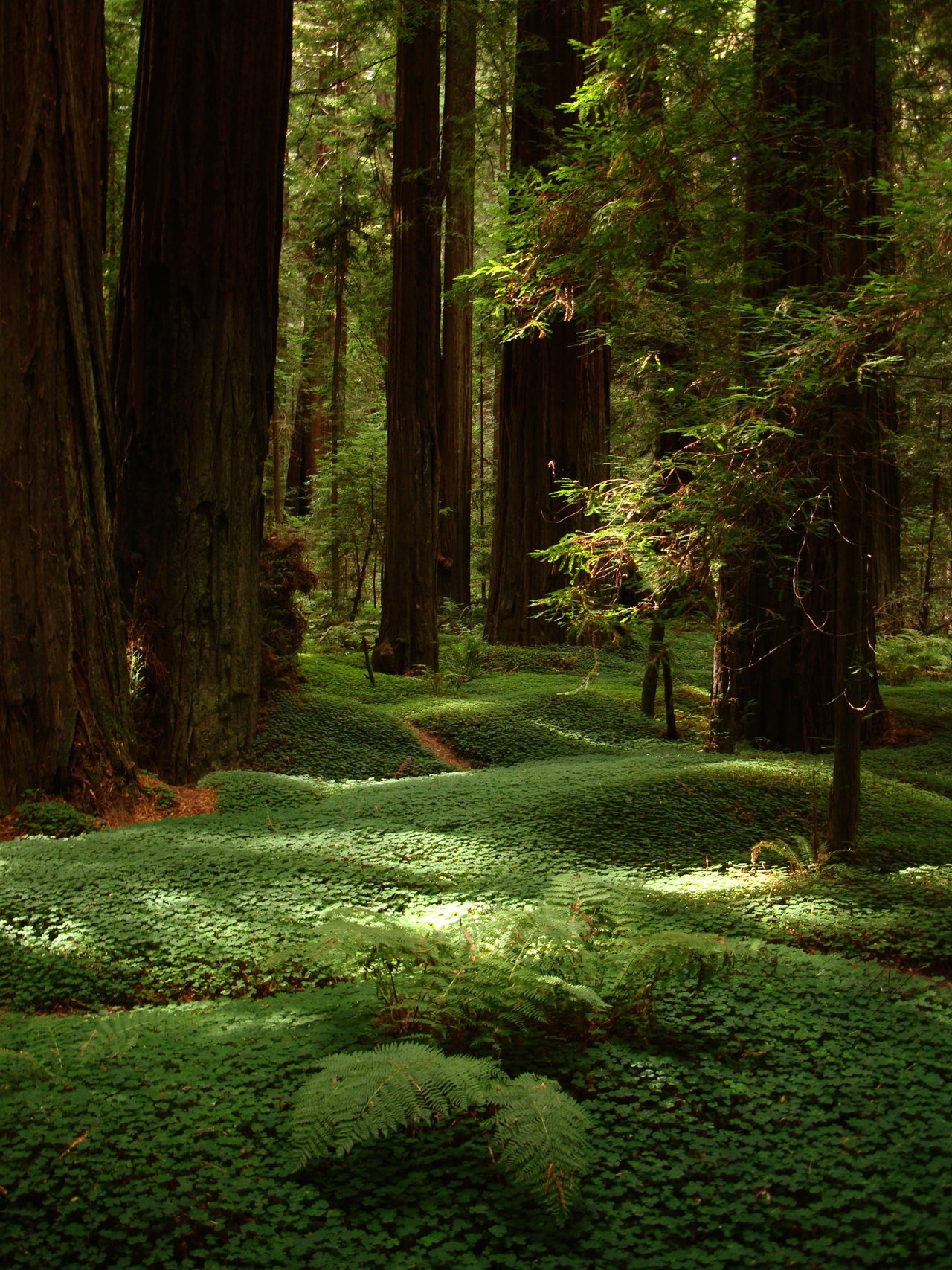 Clover covered forest floor beneath the Redwoods