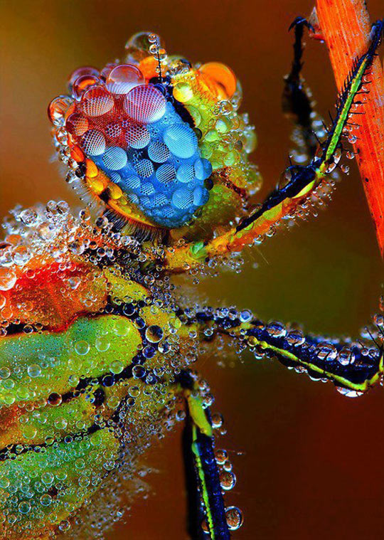 Dragonfly Coated In Morning Dew