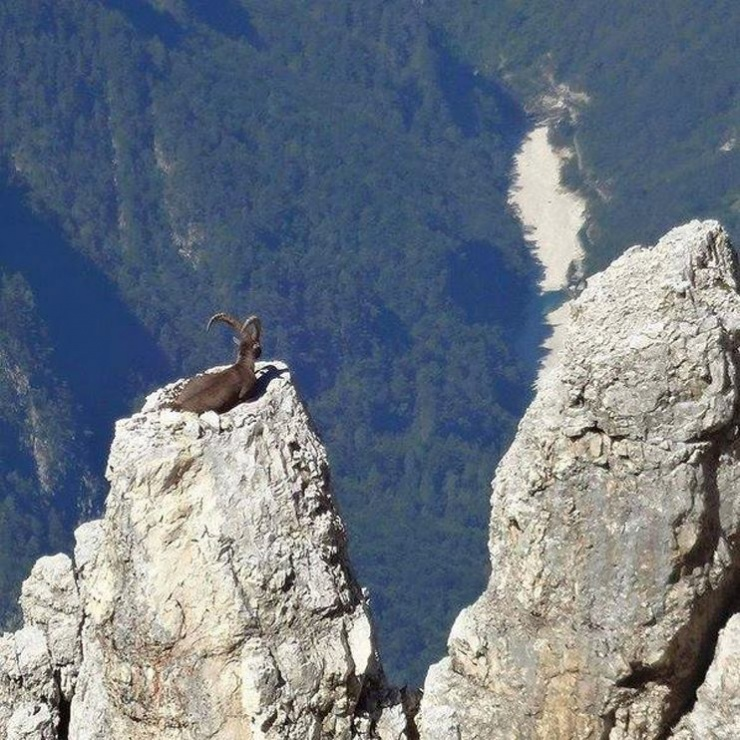 Goat enjoys the view
