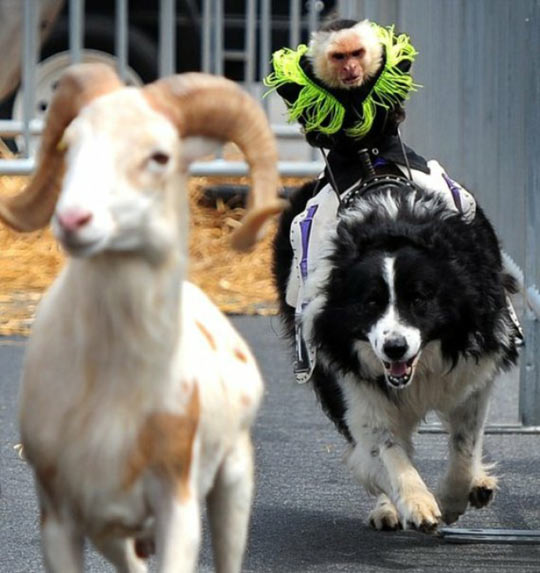 Just A Photo Of A Monkey Riding A Dog Chasing A Goat