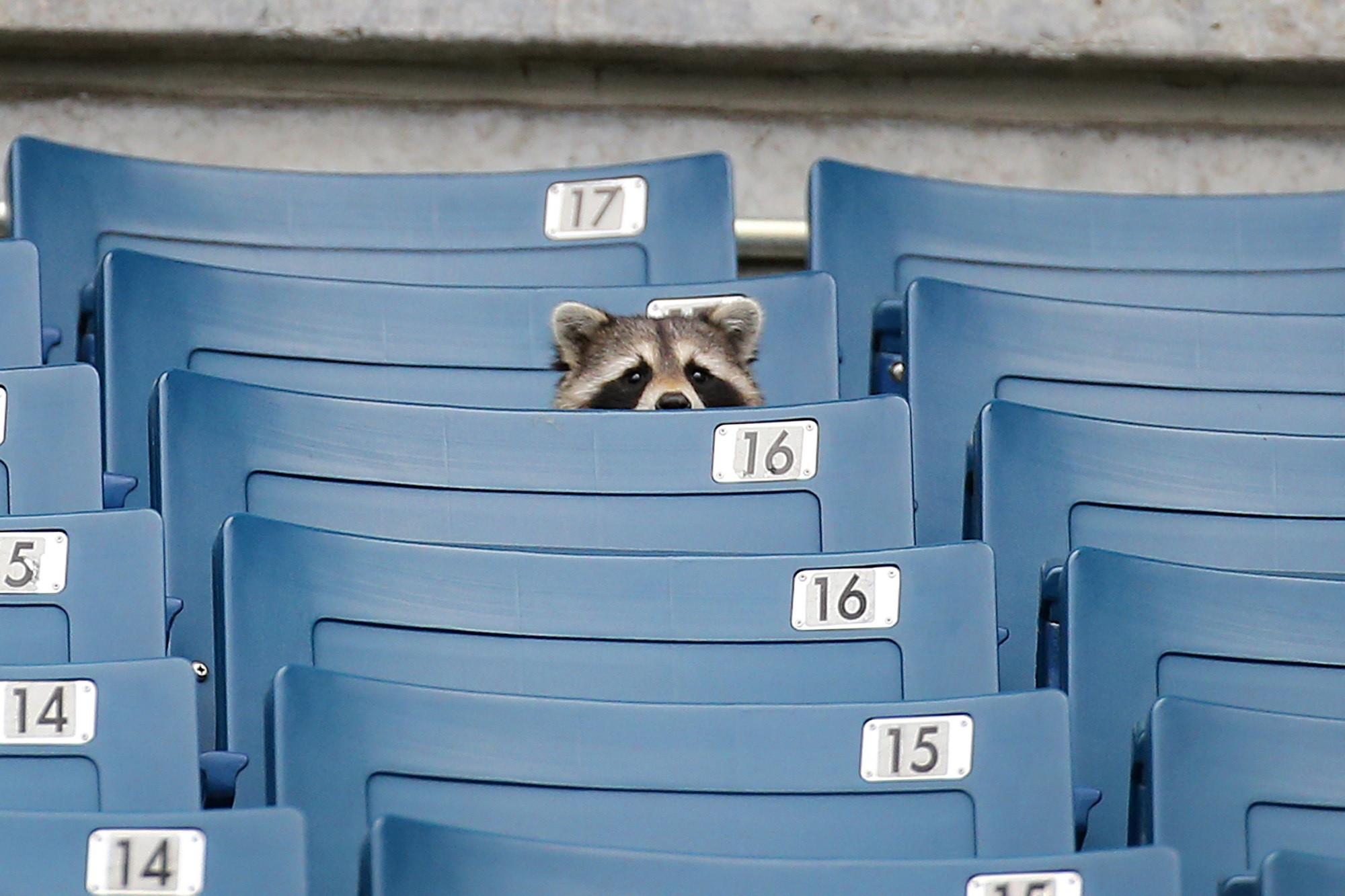 Raccoon watching a baseball game