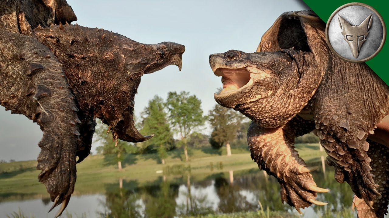 The difference between an Alligator Snapping Turtle vs Common Snapping Turtle